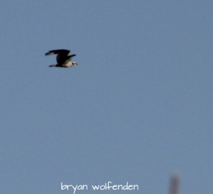 1st Photo received of Osprey returning for 2015 season!  Spotted on 3/23/2015 over the Pawtuxet River in Coventry, vicinity of Lake Tiogue by Bryan W.