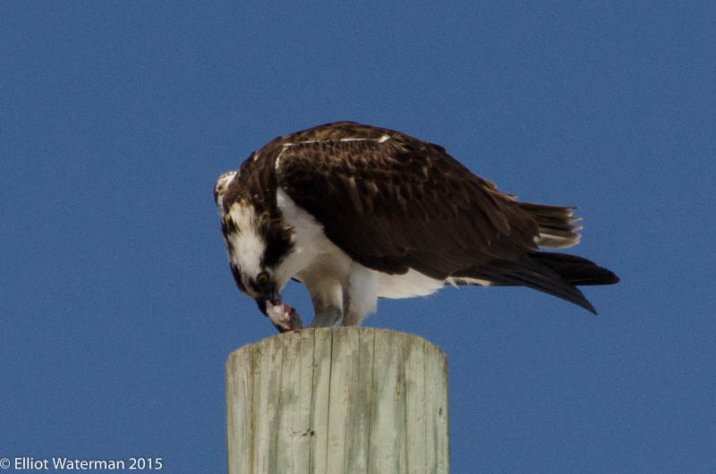 Osprey Feeding at Ryan Park_#2_ 3.25.15 Elliot W