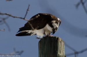 Osprey feeding!