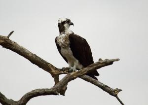 Osprey_EEC_Cunha_4.2016