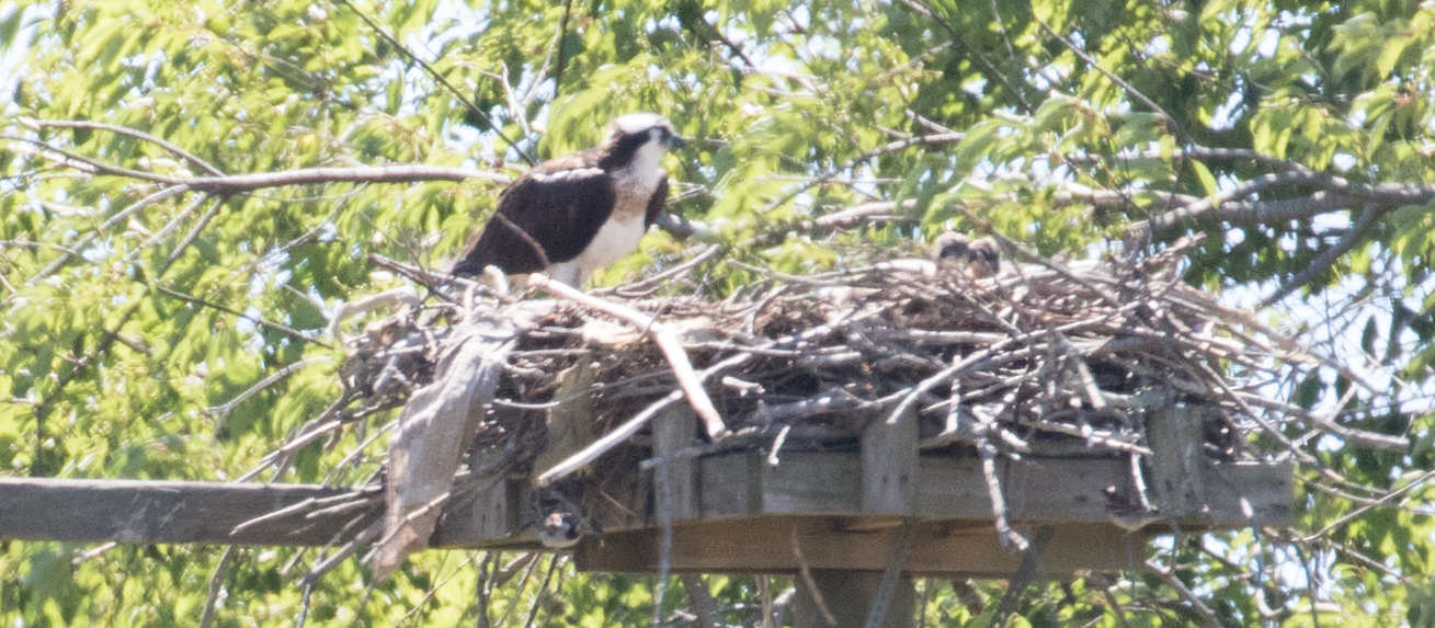 ofarrell_farm_7-2-16_2nestling_view_with_mother_blurry