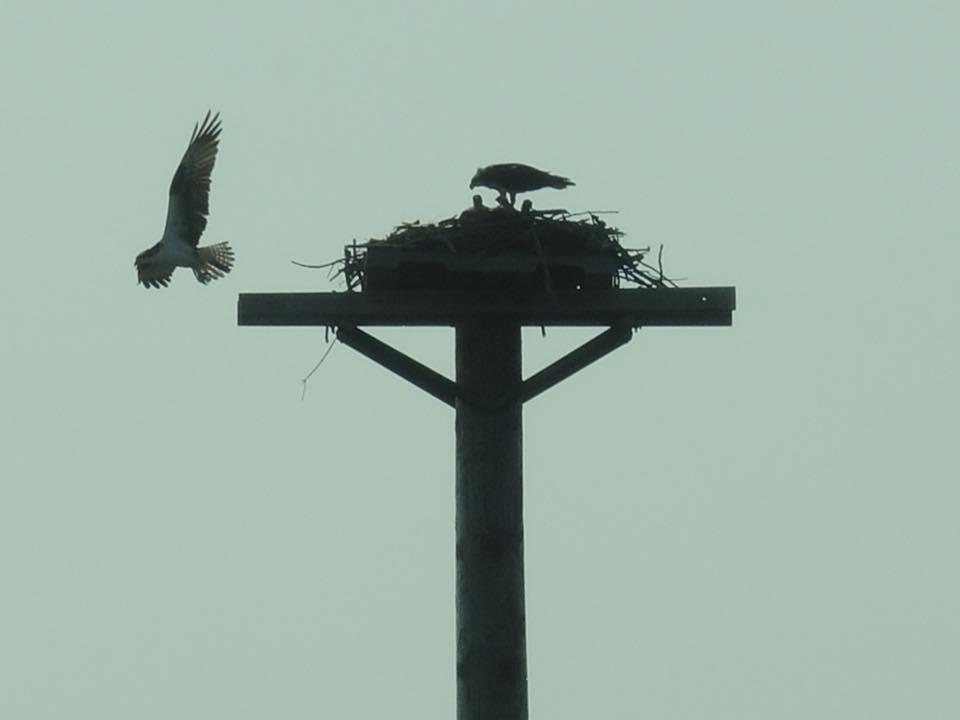 Jepson Rd Nest (Portsmouth)
